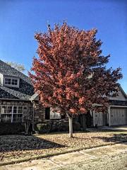 20181110-134312-26 (alnbbates) Tags: november2018 tulsa oklahoma tree fallcolor jeanetteshouse