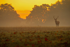 Buongiorno! / Good morning! (Windsor Great Park, Berkshire, United Kingdom).jpg (AndreaPucci) Tags: windsor greatpark longwalk sunrise red deer uk berkshire andreapucci autumn