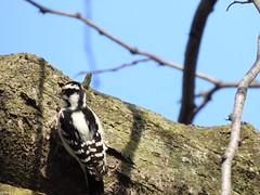 Downy Woodpecker (A female) (Smith Birding) Tags: picoidespubescens woodpecker downywoodpecker chicago montroseharbor m photography wildlife coolpixp1000 nikon birds