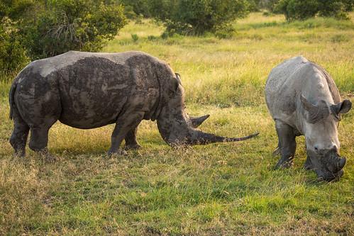 Southern White Rhinos, Ol Pejeta Conservancy, Kenya
