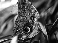 Butterfly III _ bw (Joe Josephs: 3,166,284 views - thank you) Tags: butterflies insects science animals nature naturephotography americanmuseumofnaturalhistory nyc newyorkcity sciencemuseum travel travelphotography bw monochrome blackandwhite blackandwhitephotography