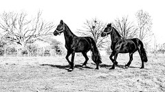 a short story about synchronization (ignacy50.pl) Tags: horse horseriding horses animal equine equestrian hobby pair two blackandwhite monochrome outdoor