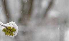 Snow (Peter_Cameron) Tags: olympusomdem1 mzuiko75mmf18