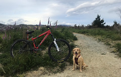 Flow-K (Wozza_NZ) Tags: kona howler bike mountainbike dog lab labrador spanador dudley flowk tunnelgully kaitoke upperhutt wellington