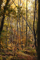 Wahner Heide 3 (ravnhenkel) Tags: wahner heide köln troidfo troisdorf heath autumn color autumncolour colour fall indiansummer indian summer germany exploration wild forest trees yellow orange birch