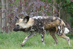 Lycaon (Passion Animaux & Photos) Tags: lycaon louppeint wild african dog zoo beauval france