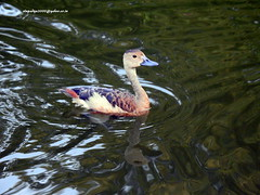 DSCN6088 Lesser Whistling Duck (Dendrocygna javanica) (vlupadya) Tags: greatnature animal aves fauna indianbirds lesser whistling duck dendrocygna kundapura karnataka
