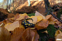 Fire salamander, Salamandra salamandra @ Thüringen 2018 (Jan Rillich) Tags: rillich janrillich canon canon5d jan photo foto picture photography fotografie eos digital wildlife animal nature beautiful beauty sunny sun fauna flora free animalphotography image 5d 5dmarkiii wideangle weitwinkel funny fisheye fischauge feuersalamander firesalamander amphibians salamander yellowspots salamandrasalamandra salamandra thüringen november sigma 15mm