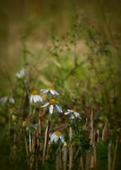 (Kaska Ppp) Tags: chamomile flower flowers flora flowersphotography fleur floral nature naturephotography natura natural november meadow autumn bokeh