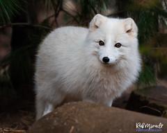 Arctic Fox (Miracle Man) Tags: nikond750 nczoo arxticwolf mammal fauna wildlife zoo