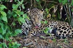 Jaguar (Panthera onca) (Susan Roehl) Tags: braziltrip2016 thepantanal cuiabariver brazil southamerica jaguar mammal animal carnivore predator pantheraonca thirdbiggestcat takenfromboat 125to200pounds canbe6feetlong 2to212feetatshoulder crushorsuffocatevictim stalking ambush pouncesfromblindspot secludedplacetoeat sueroehl photographictours naturalexposures panasonic lumixdmcgh4 100400mmlens handheld croppedimage grass forest byriver onshore coth5 ngc npc