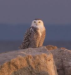 Snowy Owl (Bubo scandiacus) (Gavin Edmondstone) Tags: buboscandiacus snowyowl bronteharbour ontario oakville owl bird