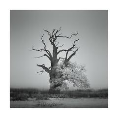 Tu Tu (Nick green2012) Tags: silence square blackandwhite infrared ancient oak tree landscape