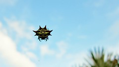 Gasteracantha cancriformis --  Spiny Orb Weaver Spider 2411 (Tangled Bank) Tags: palmbeachcounty florida gasteracantha cancriformis spiny orb weaver spider 2421 wild nature natural outdoors arachnida fauna arthropod