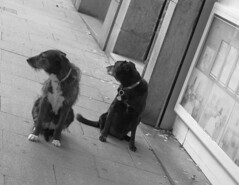 The 1st Line of... (RICHARD OSTROM) Tags: monochrome dogs fight animal game violence life nature natural nasty city madrid spain europe earth yellow just you beasts 2018 open street