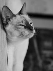 PC010776 (Vladimir V. Samoylov) Tags: 75mm animals bnw cat e5markii mzuiko75mmf18 m43 micro43 microfourthirdsmicro43 mono monochrome olympus olympusm75mmf18 omd μ43