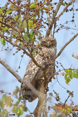 Brown Fish Owl (harshithjv) Tags: bird birding largebird nocturnal raptor brownfishowl brown fishowl owl ketupa zeylonensis strigiformes strigidae aves avian canon 80d tamron bigron g2