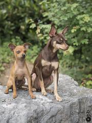 Nestor et Orféo à l'affût. (Philippe Bélaz) Tags: nestor orféo ratierdeprague animal animaux animauxdecompagnie chien chocolat duo fauve portraitsanimalier été