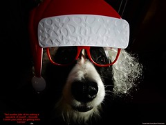 A Christmas Spectacle (ASHA THE BORDER COLLiE) Tags: christmas picture funny dog santa hat prop ashathestarofcountydown connie kells county down photography