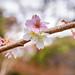 Cherry blossoms (juugatsuzakura) in Kuzuharagaoka-jinja Shrine : 十月桜(鎌倉・葛原岡神社)