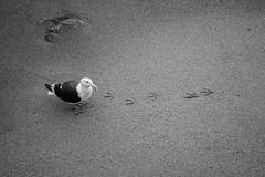 Footprints (Eric Bloecher) Tags: footprints sand seagull bird trail animal wildlife blackwhite blackwhitephotos blackandwhite bw monterey california beach shore