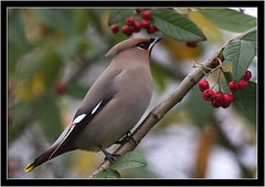 WAXWING (PHOTOGRAPHY STARTS WITH P.H.) Tags: waxwing central park plymouth devon nikon d500 500mm afs vr teleconverter