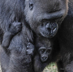 Faces young and old. (rsheath76) Tags: dallaszoo gorillas baby westernlowlandgorilla faces