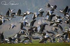 106356664s (TARIQ HAMEED SULEMANI) Tags: sulemani tariq tourism trekking tariqhameedsulemani winter wildlife wild birds nature nikon