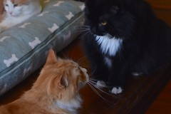 Jimmy and Batman in polite conversation (rootcrop54) Tags: jimmy orange ginger tabby male batman tuxedo males cats otis dilute multiple communicate neko macska kedi 猫 kočka kissa γάτα köttur kucing gatto 고양이 kaķis katė katt katze katzen kot кошка mačka gatos maček kitteh chat ネコ