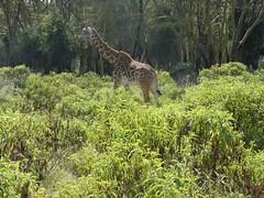 Masai giraffe - Giraffa camelopardalis tippelskirchii (Linda DV) Tags: wildlife park vulnerable lindadevolder africa 2018 lumix travel geotagged nature kenya fauna naivasha lake masaigiraffe giraffacamelopardalistippelskirchii artiodactyla wileliwildlifepark