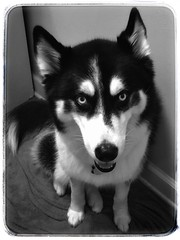 A Siberian Husky named Layla | Marietta, Georgia (steveartist) Tags: siberianhusky layla 4yearolddog femaledog canines iphonese snapseed drsinanfeidy snapseedfilters