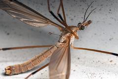 Fuzzy Tube - _TNY_0563 (Calle Söderberg) Tags: macro canon canoneos5dmarkii canon5dmkii canonef100mmf28usmmacro 5d2 canon5dmarkii insect flash meike mk300 glassdiffusor raynox dcr250 diptera nematocera tipuloidea harkrank cranefly beige f22