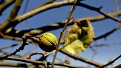 Kleiner Apfel im Garten (dl1ydn) Tags: dl1ydn apfel leaves nature garten garden obst herbst autumn manual altglas nahaufnahmen konica hexanon 28mmf35 bokeh apple fruit natur mf manuell