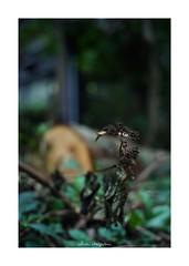 2018/10/8 - 9/9 END. photo by shin ikegami. - SONY ILCE‑7M2 / Voigtlander NOKTON CLASSIC 40mm f1.4 SC VM (shin ikegami) Tags: 紫陽花 macro マクロ flower 花 井の頭公園 吉祥寺 autumn 秋 sony ilce7m2 sonyilce7m2 s7ii 40mm voigtlander nokton nokton40mmf14sc tokyo photo photographer 単焦点 iso800 ndfilter light shadow 自然 nature 玉ボケ bokeh depthoffield naturephotography art photography japan earth asia