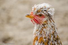 Chicken colors (Rene Mensen) Tags: chicken color wildlands emmen rene mensen kip macro yellow drenthe thenetherlands