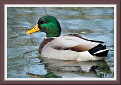 Mr. Mallard  [Explored] (acadia_breeze4130) Tags: pennsylvania harrisburg wildwood park lake water duck mallard male drake handsome frame framed outside october nature wildlife naturephotography eos tamron karencarlson