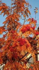 Autumn colours in York, 2018 - 11 (nican45) Tags: 15november2018 15112018 18135 18135mm 2018 csc fuji fujifilm november xt2 xf18135mmf3556rlmoiswr york yorkshire autumn colours fall garden home mirrorless tree