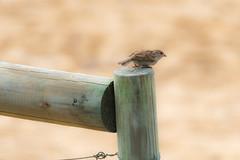 Little Sparrow at the Beach (Merrillie) Tags: sand nature australia sparrow newsouthwales animal uminabeach wild wildlife umina coastal outdoors bird fauna centralcoast beach housesparrow