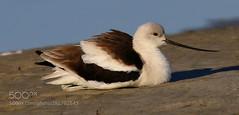 American Avocet Closeup (KevinBJensen) Tags: bird animal wildlife sand beach closeup