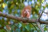 Hoernchen-2018-3370.jpg (Joachim Dobler) Tags: eichhörnchen eichhoernchen squirrel écureuil ardilla scoiattolo esquilo nature natur nagetier esquito wildlife animal cute naturephotography squirrellove wildlifephotography bestsquirrel nutsaboutsquirrels cuteanimals