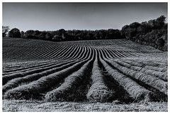 Lavender Field In November (Kam Sanghera) Tags: crop field lavender kent shoreham uk united kingdom lines bw black white nik efexs efex silver pro 2
