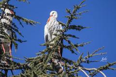 Cigüeña de Diciembre (Julio Millán) Tags: cigüeña árbol pino cielos ave pajaro naturaleza animales