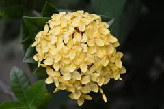 Jungle Geranium (Ixora) (Seventh Heaven Photography - (Flora)) Tags: flower flora bloom nikon d3200 jungle geranium ixora yellow