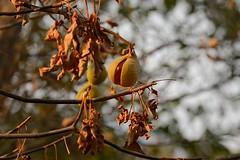 Aesculus californica (California Buckeye) fruiting (birdgal5) Tags: california solanocounty nearwinters picnicarea lakesolanopark nativeshrub deciduous sapindaceae buckeye californiabuckeye aesculus aesculuscalifornica nikon d4 nikond4 80400mmf4556gafsedvr 80400mmf4556gvr inaturalistorg