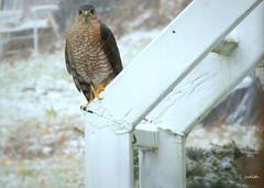 snow day visitor --EXPLORED (Judecat (back on the farm)) Tags: nature wildlife pennsylvaniawildlife birdofprey sharpshinnedhawk snow
