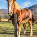 Wild Horse in Cades Cove - Great Smoky Mountain National Park