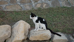 2015-09-19_18-17-45_ILCE-6000_DSC09310 (Miguel Discart (Photos Vrac)) Tags: 2015 57mm animal animalphotography animals animalsupclose animaux cat cats chat chats colakli e18200mmf3563ossle focallength57mm focallengthin35mmformat57mm holiday hotel ilce6000 iso400 kamelya kamelyaworld nature naturephotography pet sony sonyilce6000 sonyilce6000e18200mmf3563ossle summer turkey turquie vacance vacation
