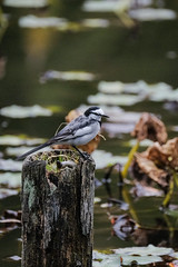 DSCF6238 (jojotaikoyaro) Tags: bird animal nature wildlife suginami tokyo japan fujifilm xh1 xf100400mm