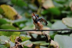 DSCF6204 (jojotaikoyaro) Tags: bird animal nature wildlife suginami tokyo japan fujifilm xh1 xf100400mm