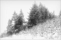Untitled (Eva Haertel) Tags: eva haertel forest woodland wood tree sky landscape winter schnee snow nebel fog mist schwarzweis sw blackandwhite bw tannen firs sauerland germany deutschland